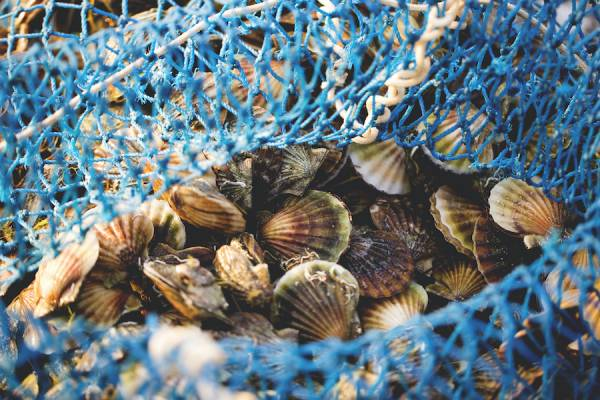 Net full of scallops