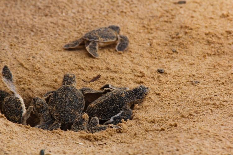 cape san blas turtle nesting season