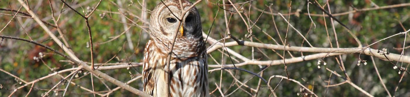 Cape San Blas Owl